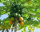The picture of the Papaya tree.